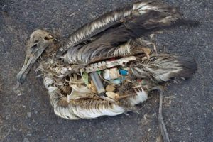 seabirds and litter